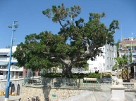 venerable-banyan-tree.jpg