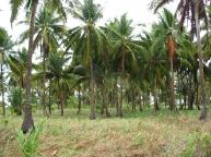 Crazy coconut trees